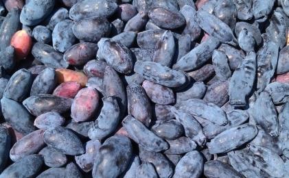 «Рассвет» посадил жимолость на40 гектарах вНижегородской области. И110 гадругих ягод