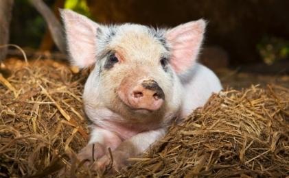 Более 6,2 тыс. свиней поступило в «ПРОМАГРО» врамках программы обновления генетики